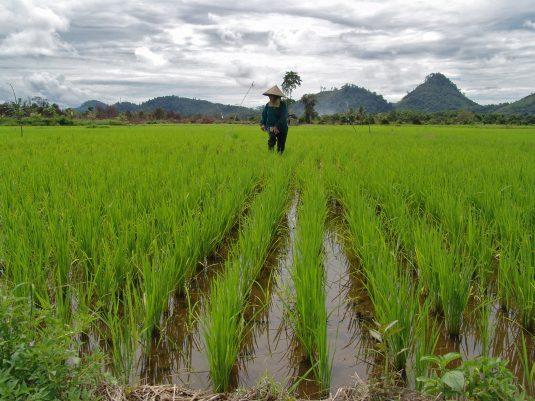 organic farmer in field near Gunung Palung National Park