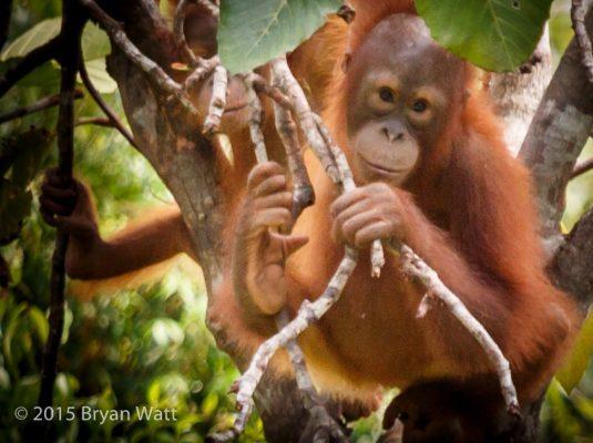 Bornean orangutan in rainforest, West Kalimantan, Indonesia