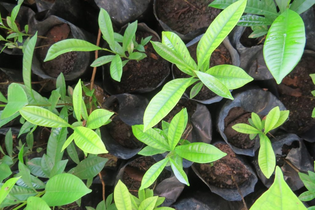Seedling grow in a nursery as a part of a Indonesian reforestation program.