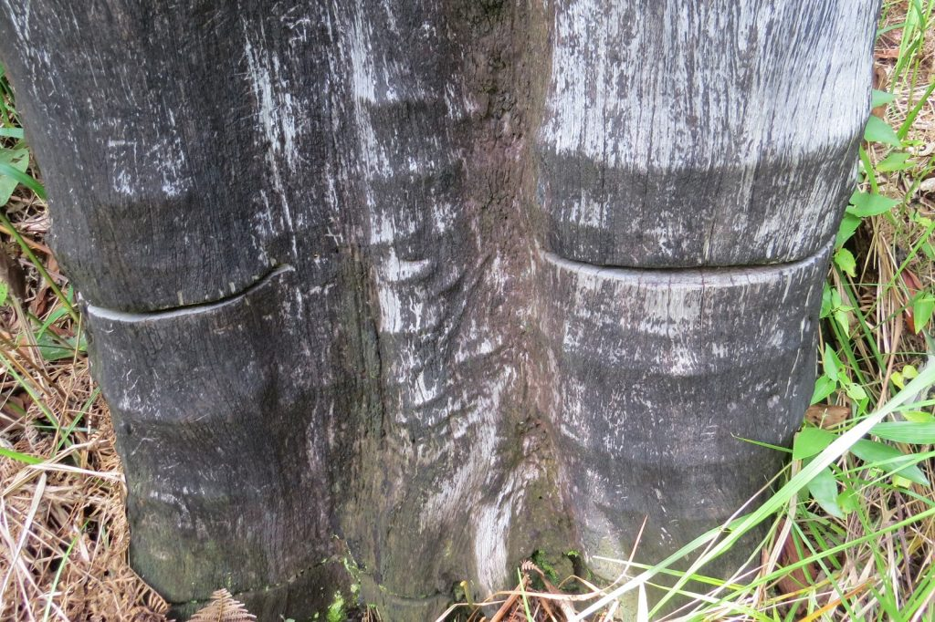 The stump of a tree in the Borneo rain forest.