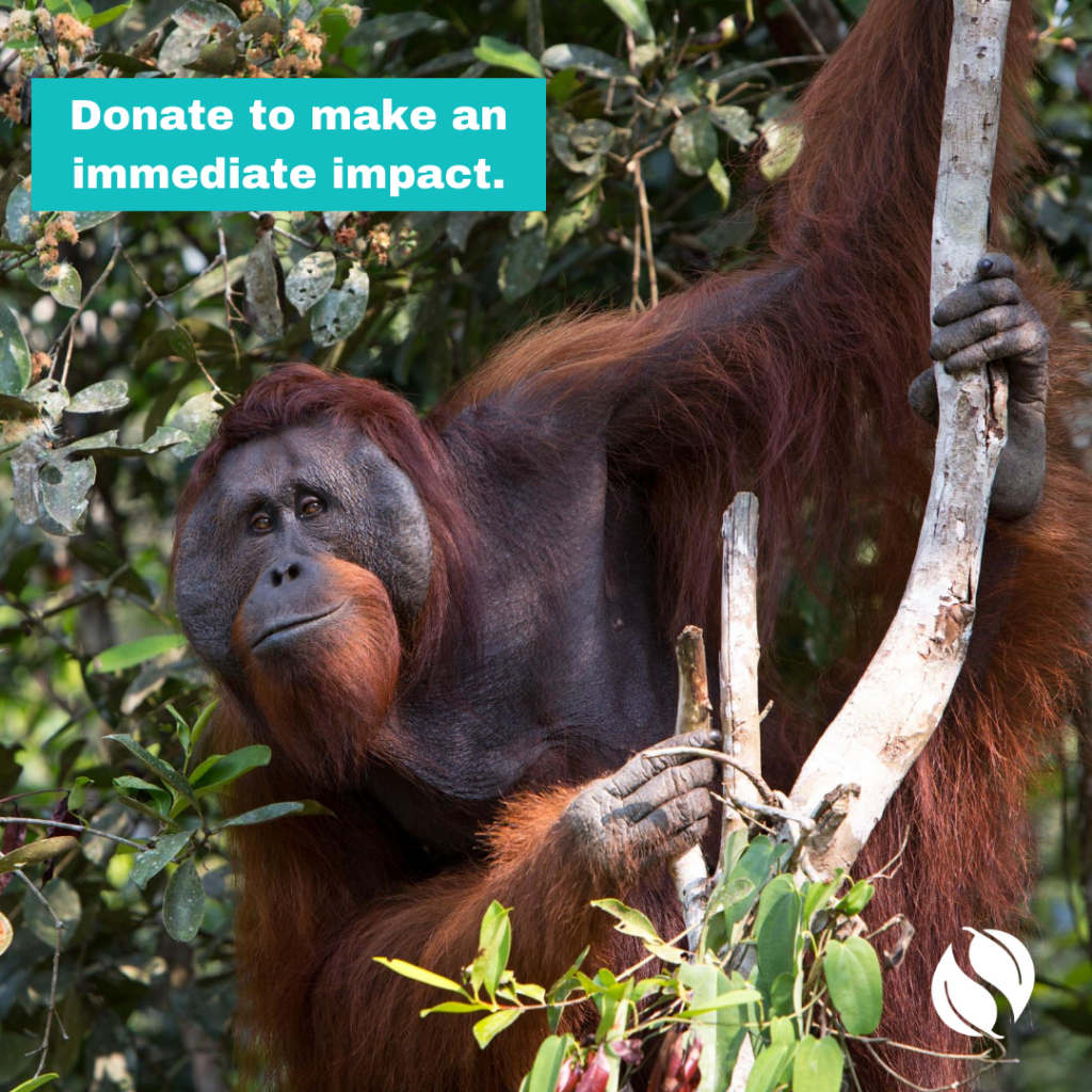 Take Action by donating to make an immediate impact (features an orangutan because you can help protect their home).