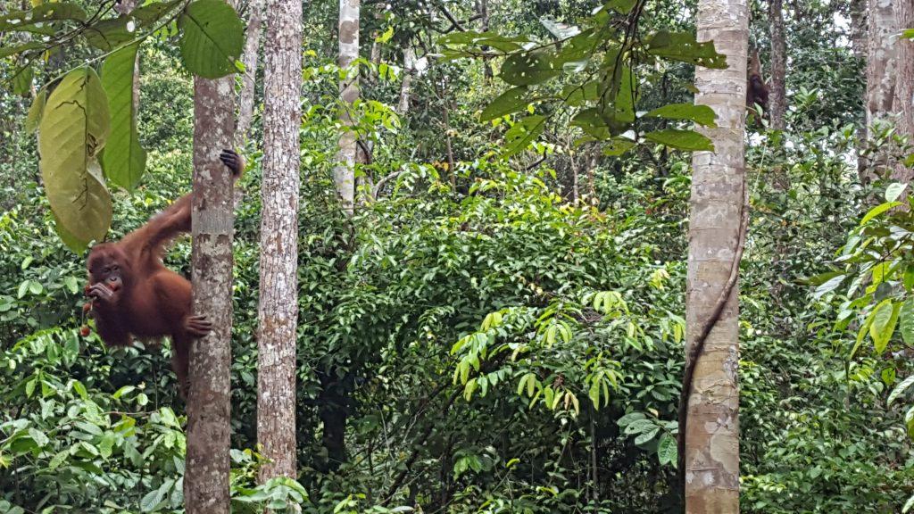 An orangutan in Gunung Palung National Park.
